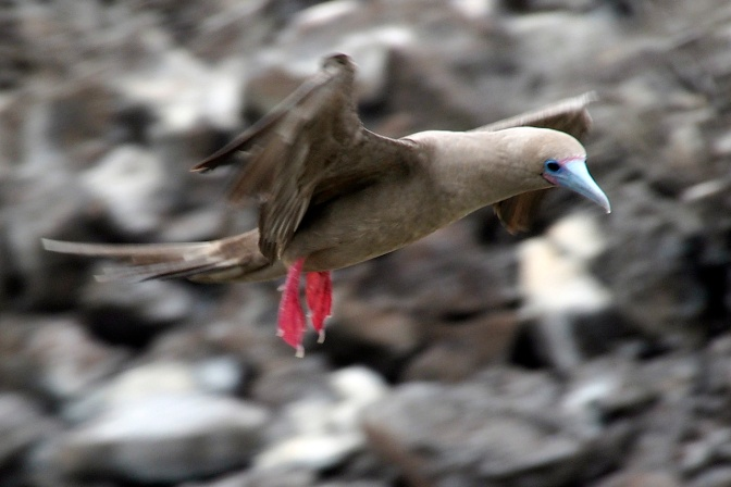 Red footed booby coming in for a landing.