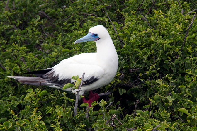 White phase red footed booby.
