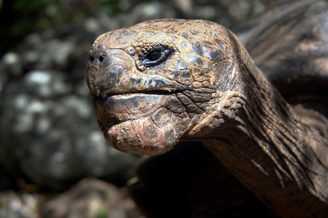 Giant San Cristobal tortoise.