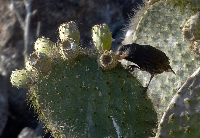 Cactus finch, one of Darwin's finches.