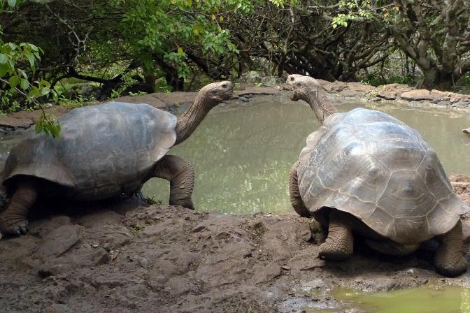 Giant San Cristobal tortoises.