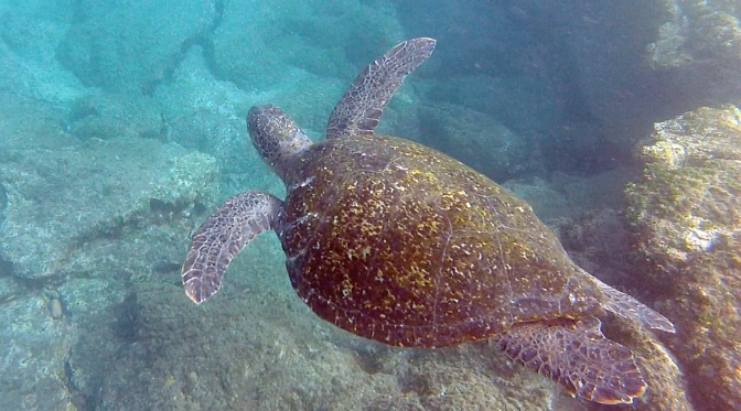Green sea turtle while snorkelling off Buccaneer Cove.