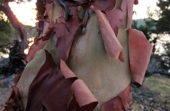 Peeling bark of an arbutus.