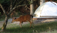 An evening visitor to our Shingle Bay camp site.