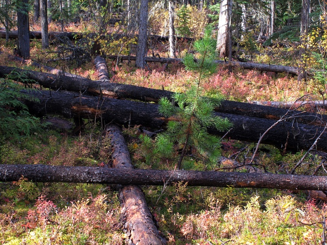 Young pine trees grow among fallen ones killed by a pine beetle infestation.