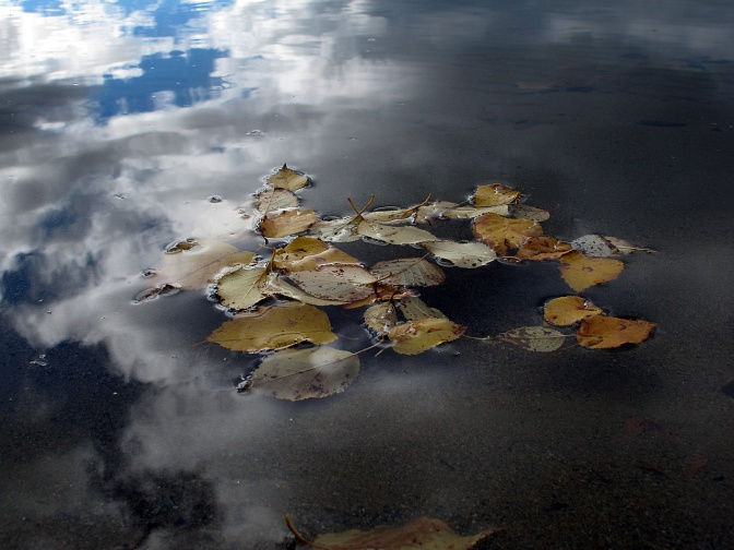 Aspen leaves floating on Swan Lake.