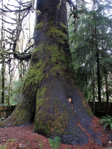 A giant spruce near Lizard Lake.