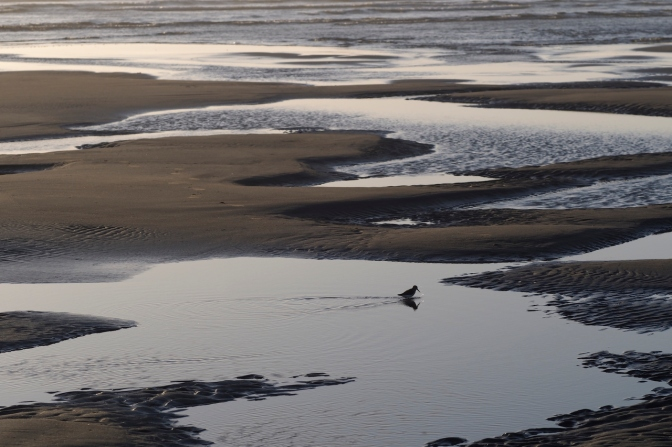 A plover on Grayland Beach.