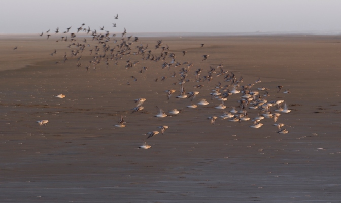 Plovers take flight on Grayland Beach.