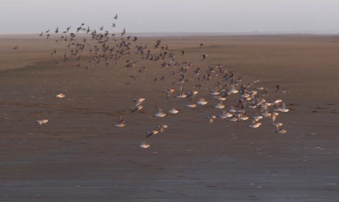 Plovers take flight on Grayland Beach.