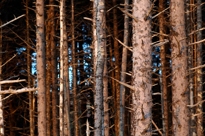 Spiky tree trunks at Cape Lookout.