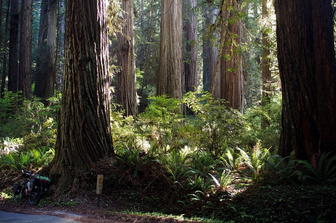 The northern Redwoods in Prairie Creek Redwoods State Park.