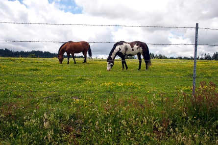 Horses grazing along the Grizzly Bluff Road between Ferndale and Rio Dell.