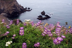 Lupin on a cliff along the Coast Highway near Jenner, CA.
