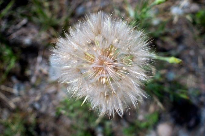 Fluffy seed pod.