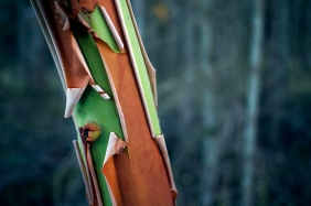 The red arbutus tree bark peels off like paper to reveal the bright green trunk.
