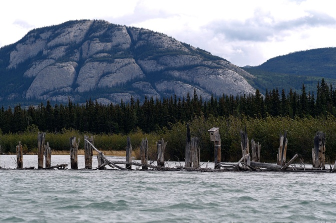 Pilings from a wing dam at the start of Lake Laberge built in 1899 and intended to keep a clear channel open. It rarely worked.