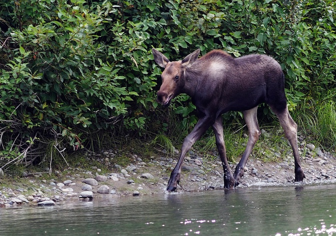 Young moose chasing us.