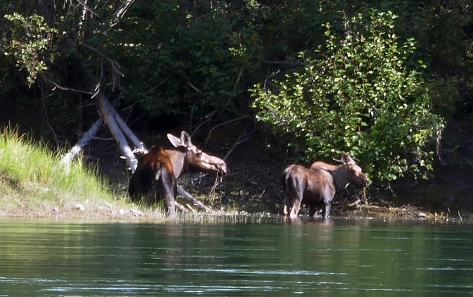 Cow moose and calf feeding on aquatic plants.