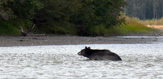 Black bear swimming across the river.